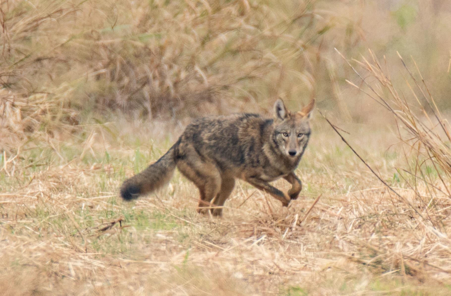 Coyote Nov 12 2017