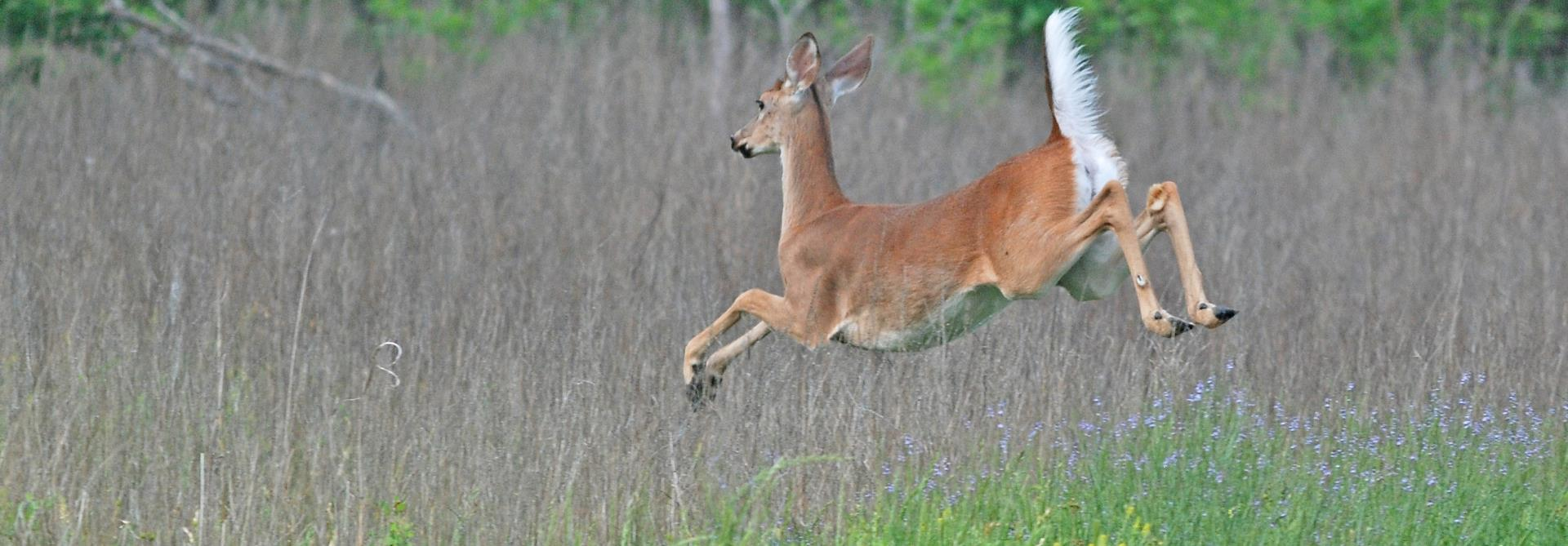 deer leaping